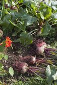 Beetroot harvested in the vegetable bed, ice lettuce
