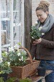 Plant a handle basket with Helleborus niger (Christmas rose)