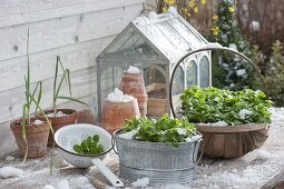Corn salad in winter, inside containers on the terrace table