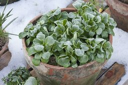 With hoarfrost frozen corn salad in clay pot