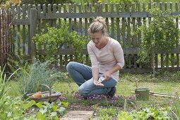 Arugula sowing in vegetable garden