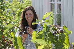 Woman picking fresh figs (Ficus carica)