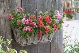 Hanging basket box with Pelargonium peltatum Ville de Paris
