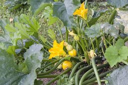 Yellow, round zucchini 'Floridor' (Cucurbita pepo) with flowers
