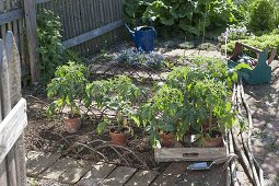 Plant tomatoes and marigolds in an organic garden bed