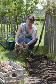 Planting dahlias in flower bed
