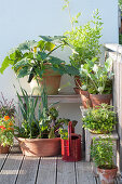 Growing vegetables in pots on the balcony