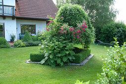 Rosa, Inula magnifica and Salix caprea 'Pendula'