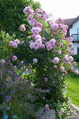 Rosa alba 'Great Maidens Blush' syn. 'Cuisse de Nymphe' (Historische Rose