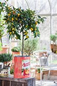 Fruiting lemon tree in vintage tin can in greenhouse