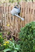 Zinc watering can hung from picket fence above narcissus in flowerbed