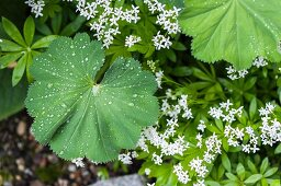 Droplets of dew on lady's mantle leaves next to flowering sweet woodruff