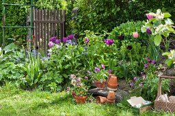 Tulips in flowerbed and terracotta pots in garden