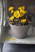 Flowering winter aconites (Eranthis hyemalis) in pot with handle