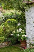 White hydrangea next to vintage wall in garden