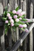 Pale pink tulips on wooden fence