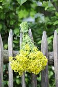 Bunch of rapeseed flowers hanging upside down from paling fence