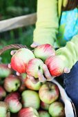 Mädchen hält frisch geerntete Äpfel