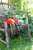 Basket of colourful zinnias on weathered wicker armchair in garden