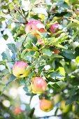 Äpfel am Baum