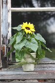 Potted sunflower on weathered windowsill