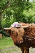 Highland cow wearing straw hat with wreath of flowers
