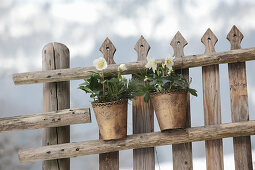 Potted hellebores and pine sprigs on fence