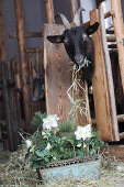 Hellebore and pine sprigs in window box in front of goats in stable