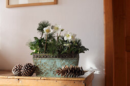 Hellebore and pine sprigs in window box