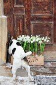 Hund riecht an mit Schneeglöckchen bepflanzter Kiste