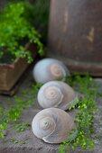 Still-life arrangement of snail shells and shepherd's purse