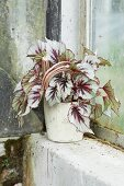 Rex begonia with silver-grey leaves in pot on mossy windowsill