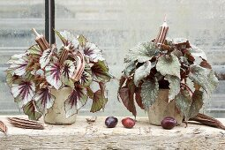 Autumnal arrangement of two Rex begonias on windowsill