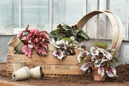 Vintage-style arrangement of Rex begonias, plant pots, wooden crate and riddle