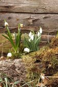 Harbingers of spring: Snowdrops and spring snowflake amongst moss against wooden wall