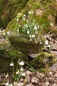 Harbingers of spring: Snowdrops and spring snowflake on mossy tree stump