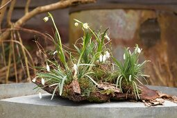 Snowdrops and spring snowflakes planted on bark