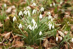 Flowering snowdrops amongst dried leaves in garden