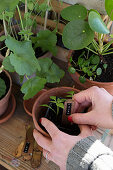 Hands sticking plant label into terracotta pot with young plant
