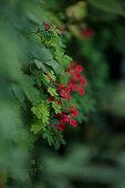 Flame nasturtium (Tropaeolum speciosum) flowering in garden