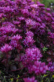 Purple-flowering stonecrop (Sedum spurium) in garden