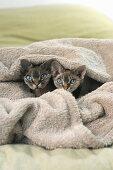 Zwei Kätzchen unter der Decke auf Doppelbett