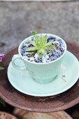 Succulent plantes in pale turquoise teacup mulched with blue stones
