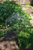 Bell-shaped trellis made from chicken wire in vegetable patch