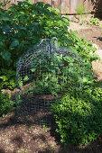 Glockenförmige Rankhilfe aus Hasendraht im Gemüsebeet