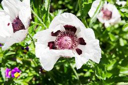 weiße Mohnblüte von oben