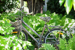 Old bicycle amongst ferns in garden