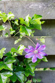 Purple clematis flowers amongst ivy tendrils on garden fence