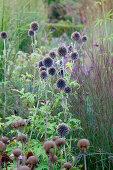 Globe thistles in garden