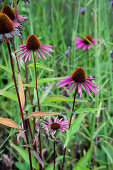 Echinacea Flowers Growing Outdoors